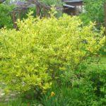 Cornus alba žuto-zeleni - šarenolisni dren
