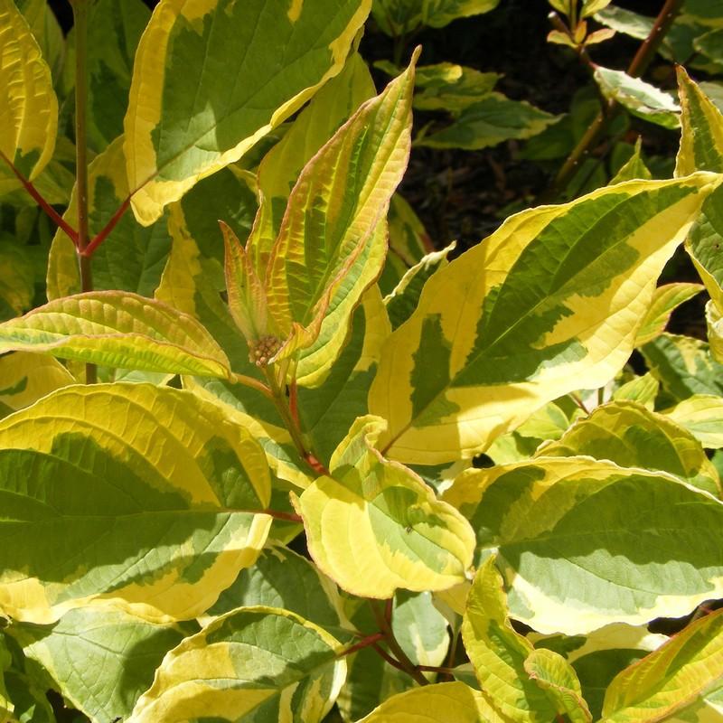 cornus alba zuto zeleni