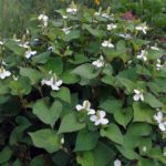 houtuynia cordata