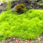 sagina subulata - zlatno zuta mahovina