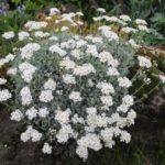 Achillea umbellata