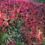 parthenocissus-quinquefolia1