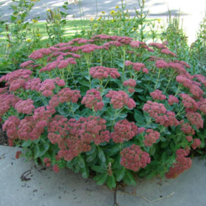 sedum Autumn-Joy