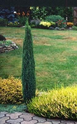junip hibernica compresa1