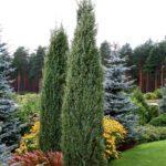 juniperus hibernica2