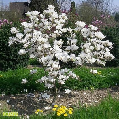magnolija alba superba2