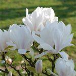 magnolija alba superba