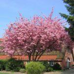 prunus serulata kanzan