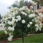 ruza stablasica bela padajuca