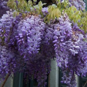 wisterija sinensis1