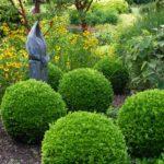 šimšir - buxus sempervirens