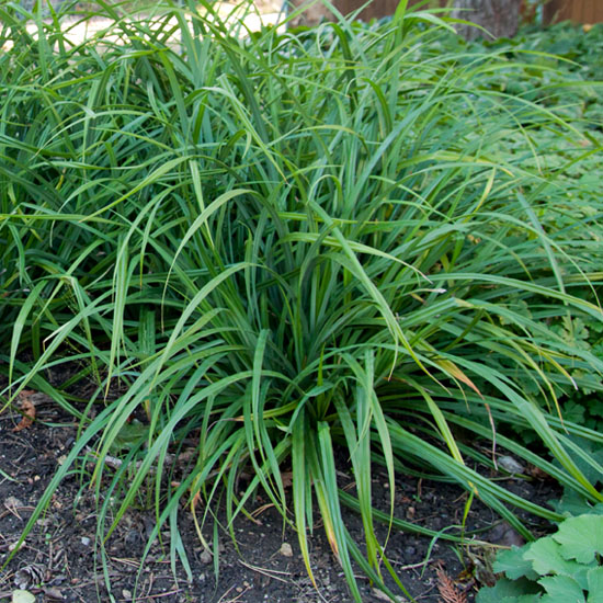 Carex irish green 1
