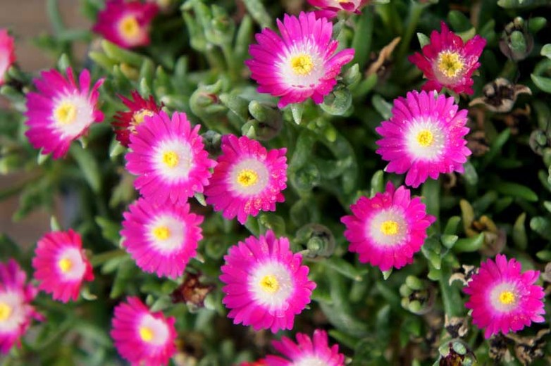 delosperma of the desert amethyst