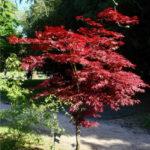 crvenolisni javor