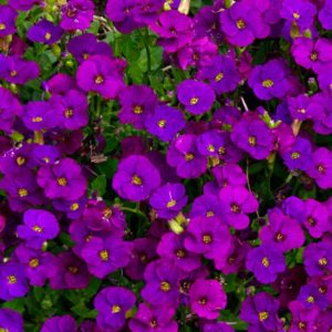 aubrieta red purple