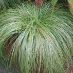 carex albula frosy curls