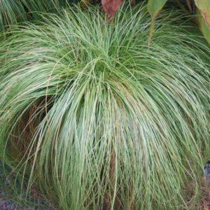 carex albula frosy curls