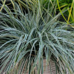 carex everest fiwhite