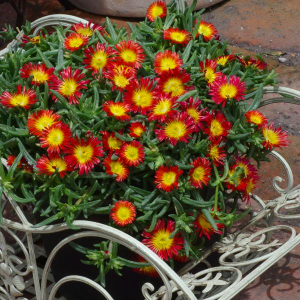 delosperma wonder fire1