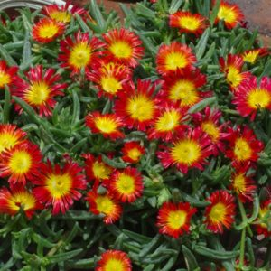delosperma wonder fire