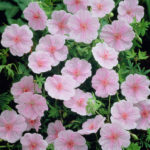 Geranium sanguineum var. striatum