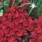 heuchera_cherry_cola1