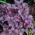 heuchera-midnight-rose