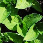 hosta gold standard