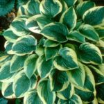 hosta medium wide brim