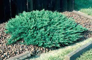 juniperus plumosa