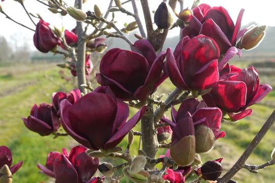 magnolia genie1
