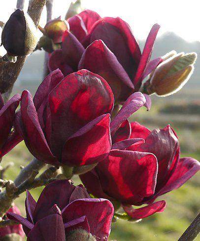 magnolija genie2