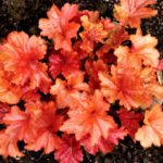 Heuchera-Paprika-1