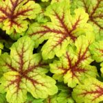 Heucherella-Alabama-Sunrise