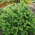 berberis thunbergia zeleni
