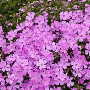 flox svetlo roze