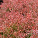 Berberis-Orange-Dream