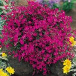 dianthus deltoides pink