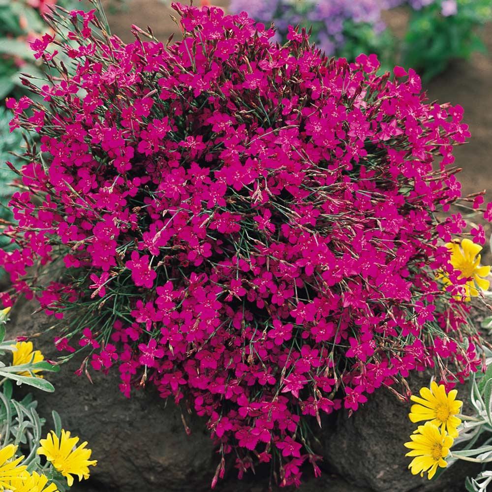 dianthus deltoides pink