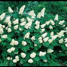 hydrangea macrophylla snow