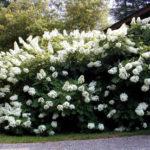hortenzija snow