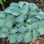 hosta bluemouse ears