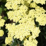 achillea yellow light