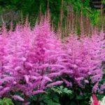 astilba tamno roze