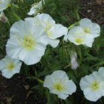 oenothera bela
