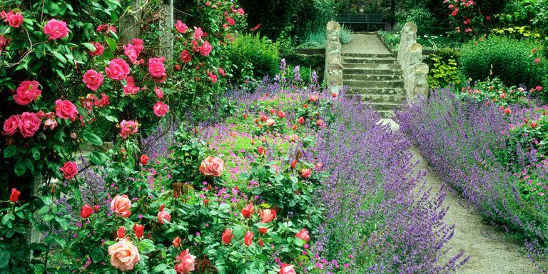 ruze i lavande hortikultura