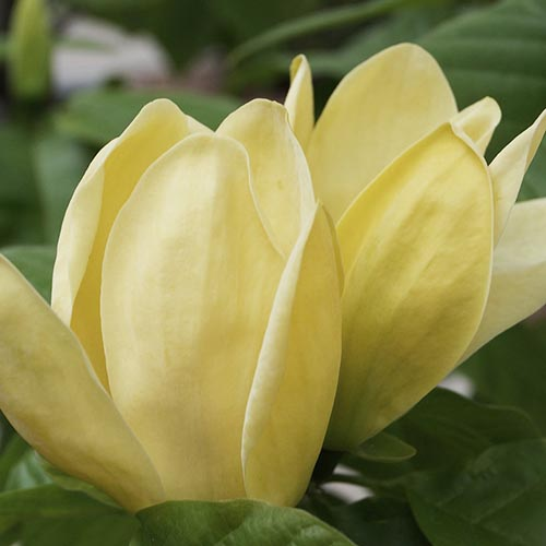 magnolija zuta