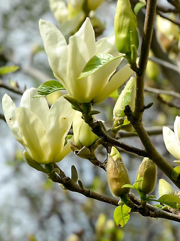Magnolia-Yellow-Lantern