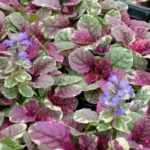 ajuga reptans burgundi glow