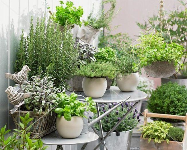 aromaticne biljke u saksijama